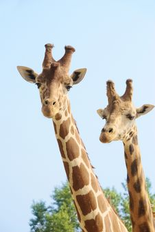Free Girffes On Long Necks Stock Images - 6322134