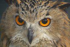 Free Owl Stock Photo - 6322230