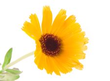 Free Yellow Daisy Royalty Free Stock Photos - 6322388