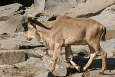 Free Arui Antelope Stock Photos - 6322503