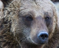 Free Portrait Of A Brown Bear Royalty Free Stock Photos - 6322518