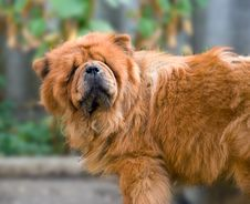 Free Chow-chow Stock Images - 6323324