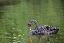 Free Black Swan Stock Photo - 6323520