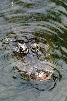 Free Alligator Surfacing Royalty Free Stock Images - 6323779