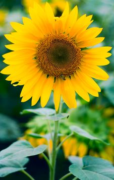 Free Sunflower Background Royalty Free Stock Image - 6323936