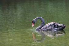 Free Black Swan Royalty Free Stock Image - 6324016