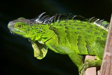Free Iguana Wasn T Scared While We Were  Fishing Nearby Royalty Free Stock Images - 6324059