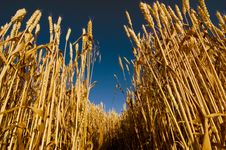 Free Wheat Field Royalty Free Stock Image - 6324076
