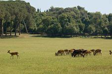 Free Grazing Deers Royalty Free Stock Photos - 6324248