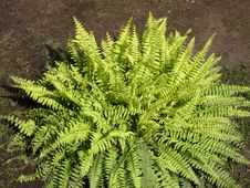 Free Fern Stock Photo - 6324760