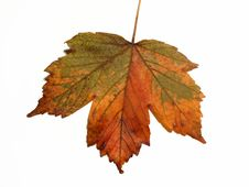 Free Maple Leaf Stock Images - 6324974