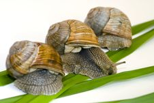 Free Snails On Green Sheet Royalty Free Stock Photography - 6324987