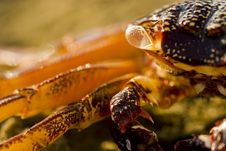 Free Crab Close-up Royalty Free Stock Photo - 6325645