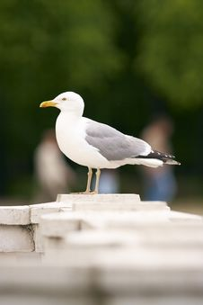 Free Herring Gull Stock Photo - 6326050