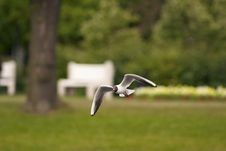 Free Laughing Gull Stock Photography - 6326072