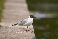 Free Laughing Gull Royalty Free Stock Photography - 6326087