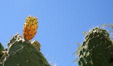 Free Opuntia Ficus-indica Stock Images - 6326434