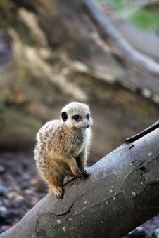 Free Animal Meerkat Royalty Free Stock Photo - 6326585