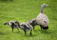 Free Goose Family Royalty Free Stock Images - 6326849