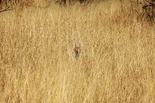 Free Steenbok In Etosha National Park - Namibia Stock Photo - 6327020