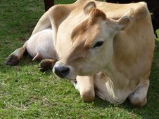 Free Cow Resting On Grass 12 Royalty Free Stock Photos - 6327888
