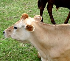 Free Cow Resting On Grass 14 Royalty Free Stock Photography - 6327897