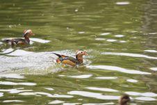 Free Mandarin Duck Stock Images - 6328974