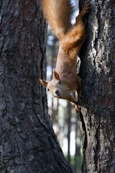 Free Squirrel Royalty Free Stock Photography - 6328997