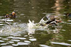 Free Mandarin Duck Royalty Free Stock Images - 6329169