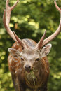 Free Head Of Buck Stock Images - 6332064