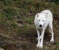Free Timber Wolf Stock Image - 6336041
