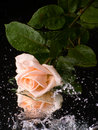 Free Pink Rose With Water Drops Royalty Free Stock Images - 6337219