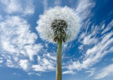 Free Dandelion Flower Full Of Seeds Royalty Free Stock Photo - 6330305