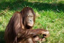 Free Cute Orangutan Stock Images - 6330934