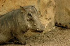 Free One Warthog Royalty Free Stock Photo - 6331355