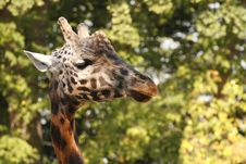 Free Giraffe Head Royalty Free Stock Photo - 6332055