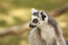 Free Lemur Royalty Free Stock Photos - 6332068