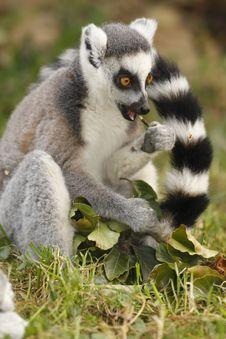 Free Lemur Royalty Free Stock Images - 6332369