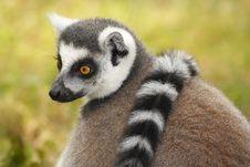Free Lemur Royalty Free Stock Image - 6332376