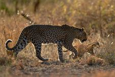 Free Leopard Mother And Cub Stock Photos - 6332643