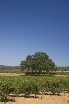 Free Vineyard Royalty Free Stock Images - 6332909