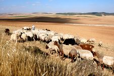 Free Flock Of Sheep Stock Photos - 6332963