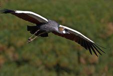 Free Grey Crowned Crane In Flight Stock Photos - 6333093