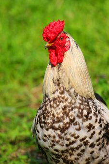 Free Rooster Royalty Free Stock Photo - 6333465