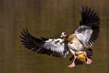 Egyptian Goose Landing Royalty Free Stock Image