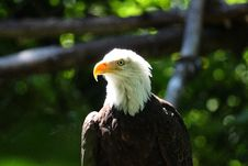 Free Bald Eagle Intensity Stock Image - 6333801