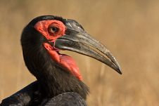 Free Ground Hornbill Portrait Stock Images - 6333844