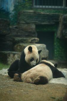 Free Panda Stock Images - 6334104
