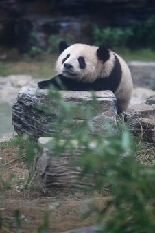 Free Panda Stock Images - 6334384