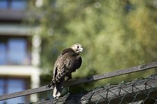 Free Falcon On The Fence Stock Photo - 6334780